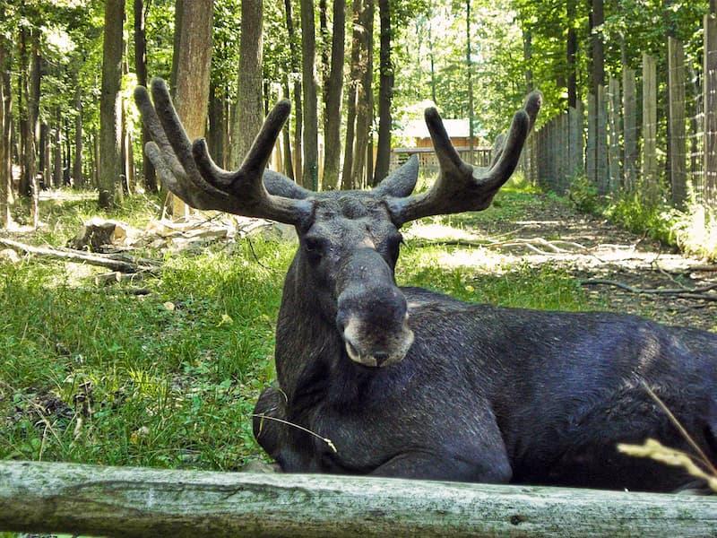 Liegender Elch im Wildpark nahe Schweinfurt